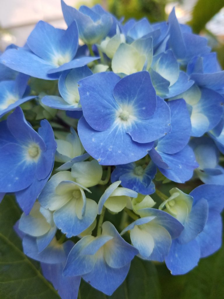 blue hydrangea in a redmond garden outside seattle makes me pause and release anxiety