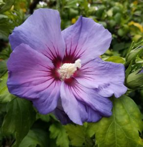 purple hibiscus in garden on seattle's eastside calms my anxiety and reminds me of the importance of mindfulness