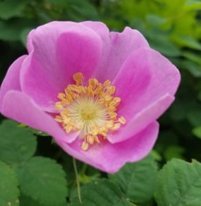 pink rock rose in redmond near seattle reminds me to be present and practice mindfulness