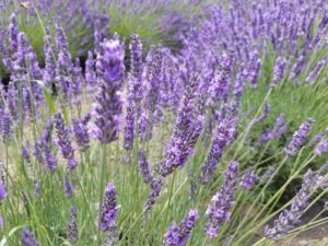 calming field of green and purple lavender flowers in redmond reduce stress lower anxiety in the seattle area