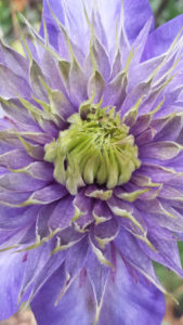 blooming purple dahlia flower in redmond reminds me of the importance of mindfulness